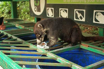 Coati en Selvatura Park