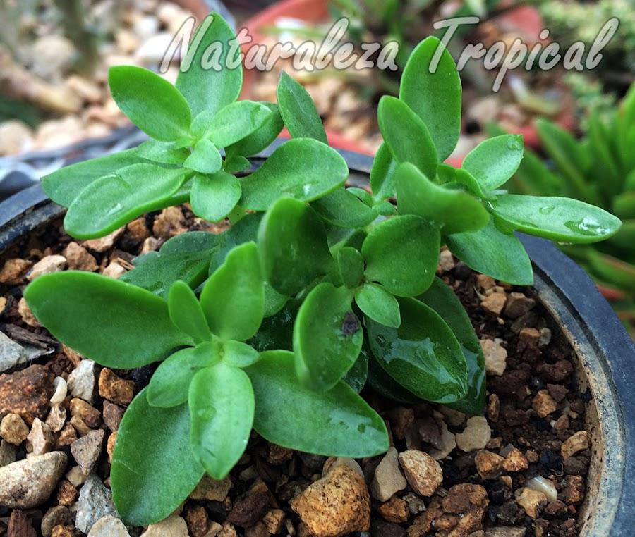 Otra planta suculenta del género Crassula