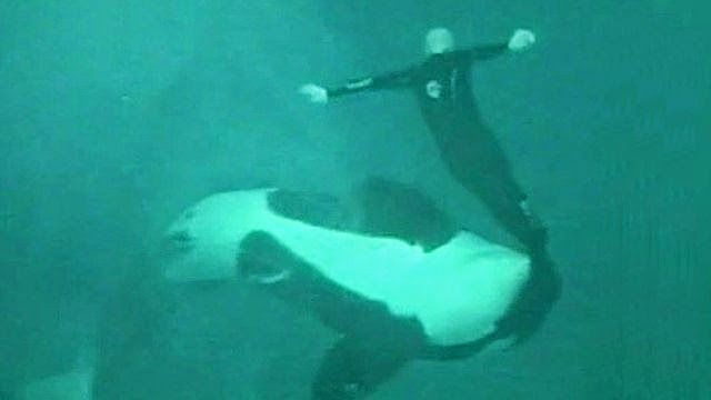 Incidents At Seaworld Parks: Captive Cetaceans Tragically Sad: Seaworld Orca And