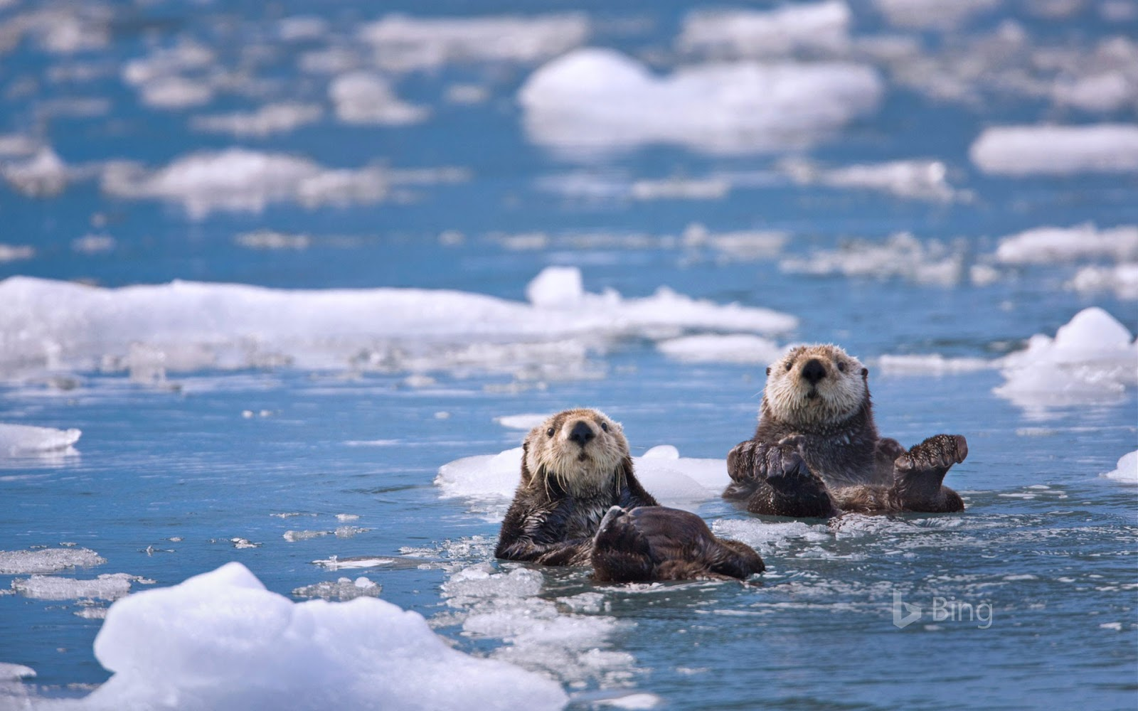 Sea otters in Prince William Sound, Alaska, 30 years after the Exxon Valdez oil spill © Patrick Endres/plainpicture