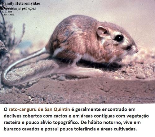 antes considerado extinto o rato canguru reaparece após 30 anos