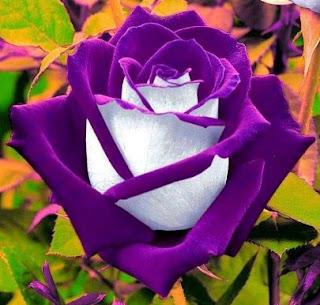 gambar bunga mawar indah 24