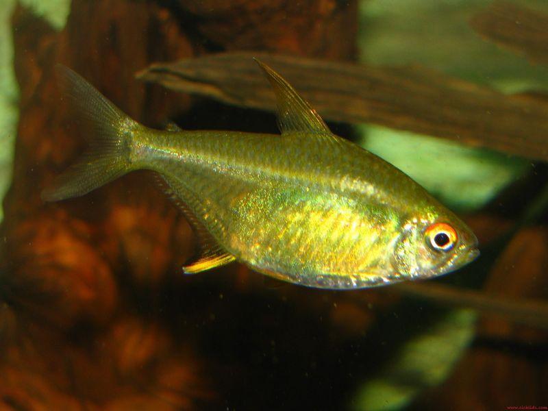 Gambar, Foto Lemon tetra Jenis Ikan Hias Tawar Yang Berwarna Hijau