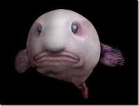 Blobfish рыба-капля