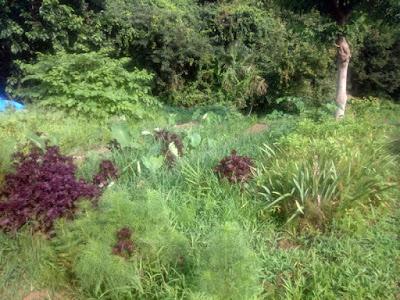雑草はオヒシバがメイン