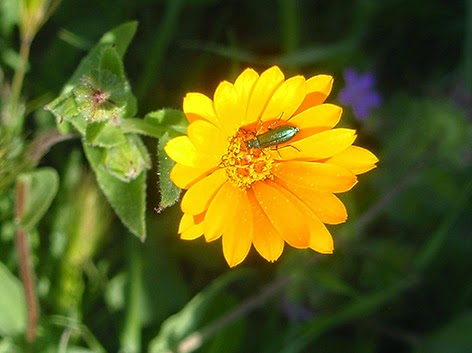Maravilla silvestre (Calendula arvensis) flor amarilla