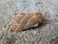 Tent Caterpillar (Malacosoma americanum) female moth