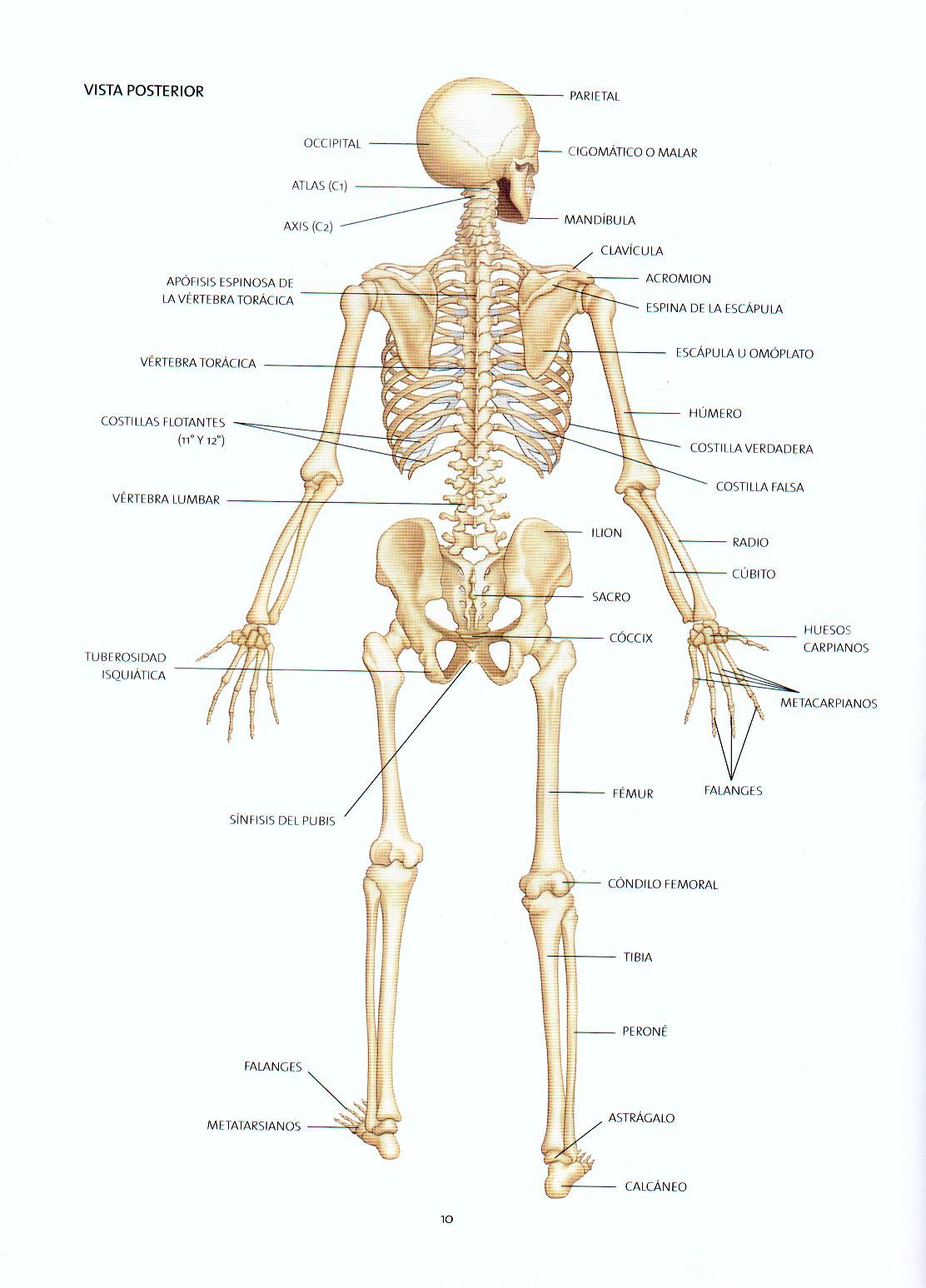 Imagenes De Un Esqueleto Humano