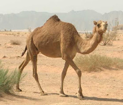 Onta atau Unta Camel hewan khas Jazirah Arab - berbagaireviews.com