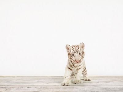 BABY WHITE TIGER NO.5, BY SHARON MONTROSE