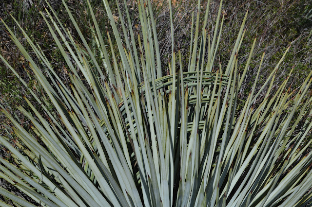 squeezed yucca