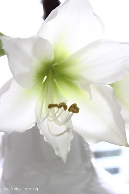 Amaryllis in weiß, Winterdekoration, flowerday bei dem Südtiroler Food- und Lifestyleblog kebo homing