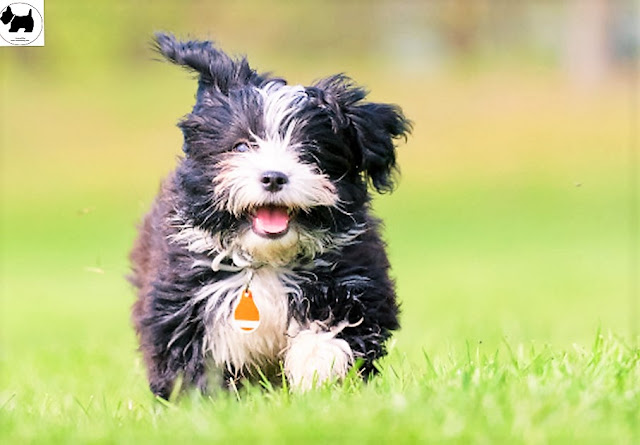 Cutest Dog Breeds, Best Dog, Havanese Dog puppies