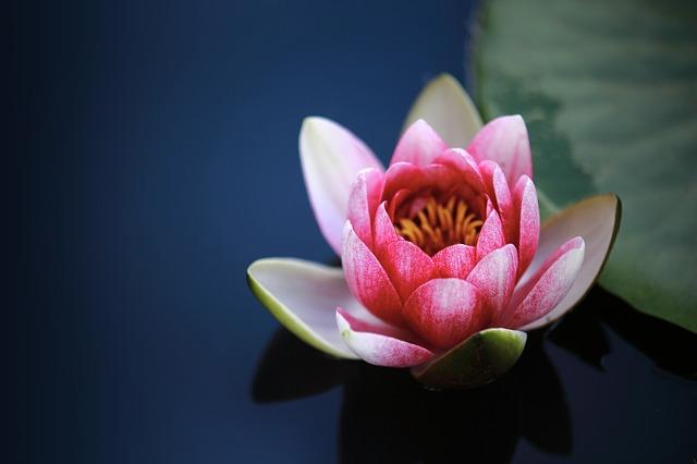 hình ảnh hoa sen hồng đẹp nhất