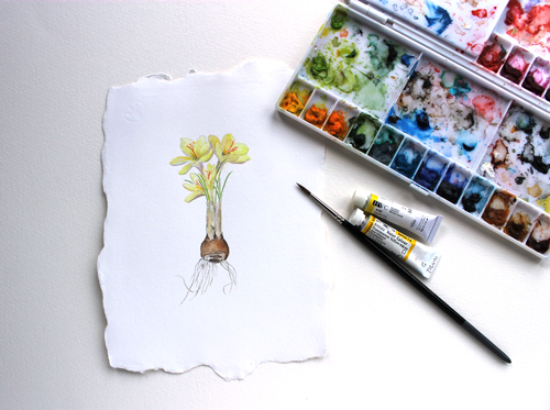 Yellow crocus botanical watercolour painting