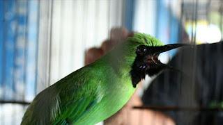 cucak hijau berani tarung