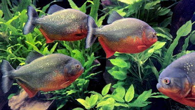 Habitat & Karakteristik Red Bellied Piranha