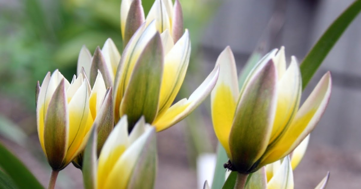 Frk. Anemone: Botaniske tulipaner og andet lysegult