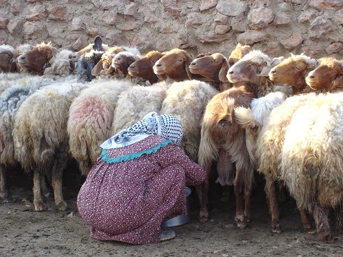 Milking Awassi Sheep the traditional way