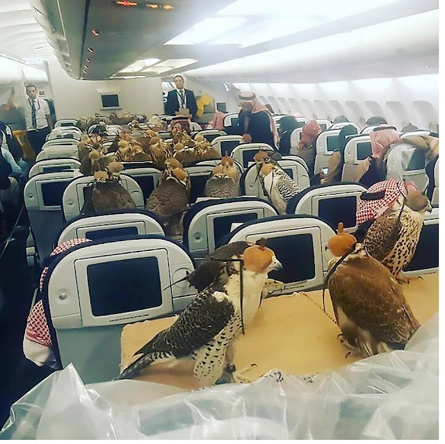 A Saudi prince transporting 80 birds of prey on commercial airliner