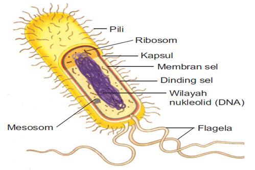 Ciri Ciri dan Struktur Bakteri Secara Rinci