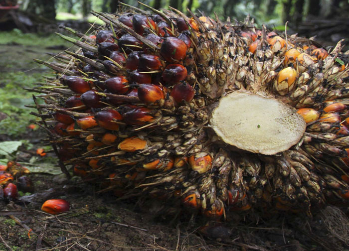 harga tbs kelapa sawit