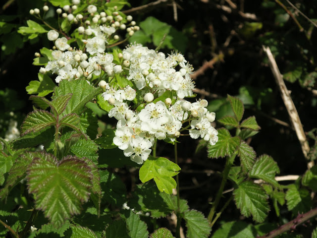 Hawthorn flowers and bramble leaves.