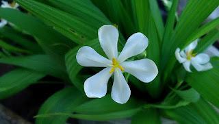 foto atau gambar Tanaman Bawang Dayak ( Eleutherine Bulbosa (MILL.) )