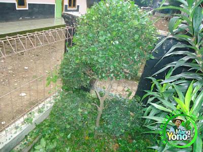 Pohon Serut depan rumah admin