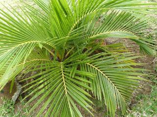 Jubaeopsis caffra - Pondococco - Palmier du Pondoland