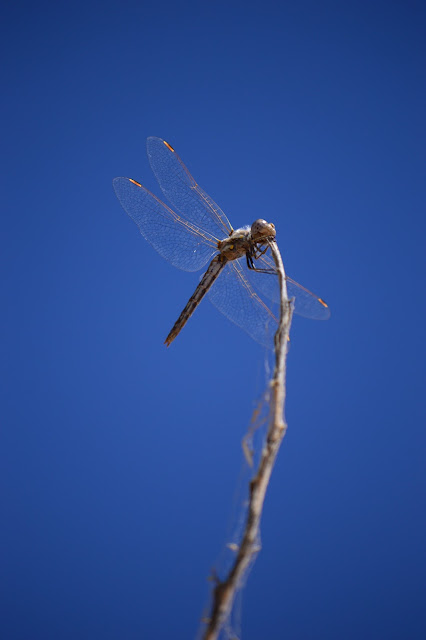 amy myers photography, dragonfly, small sunny garden