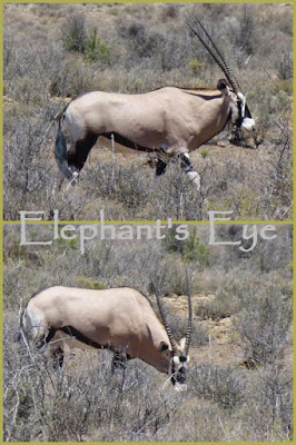 Gemsbok or Cape oryx