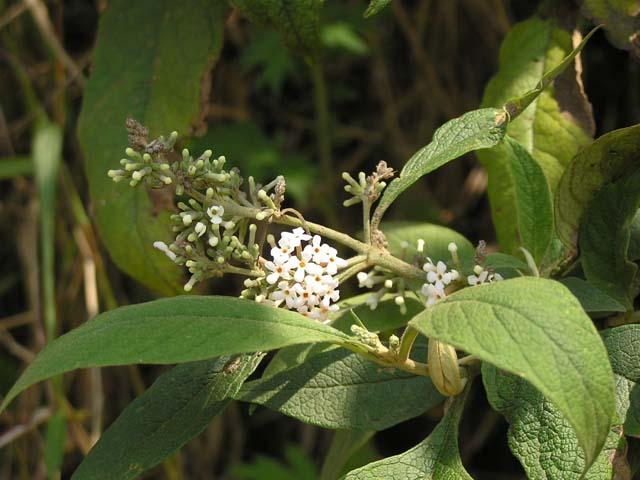 Mật Mông Hoa - Buddleia officinalis (Buddleia madagascariensis) - Nguyên liệu làm thuốc Chữa bệnh Mắt Tai Răng Họng