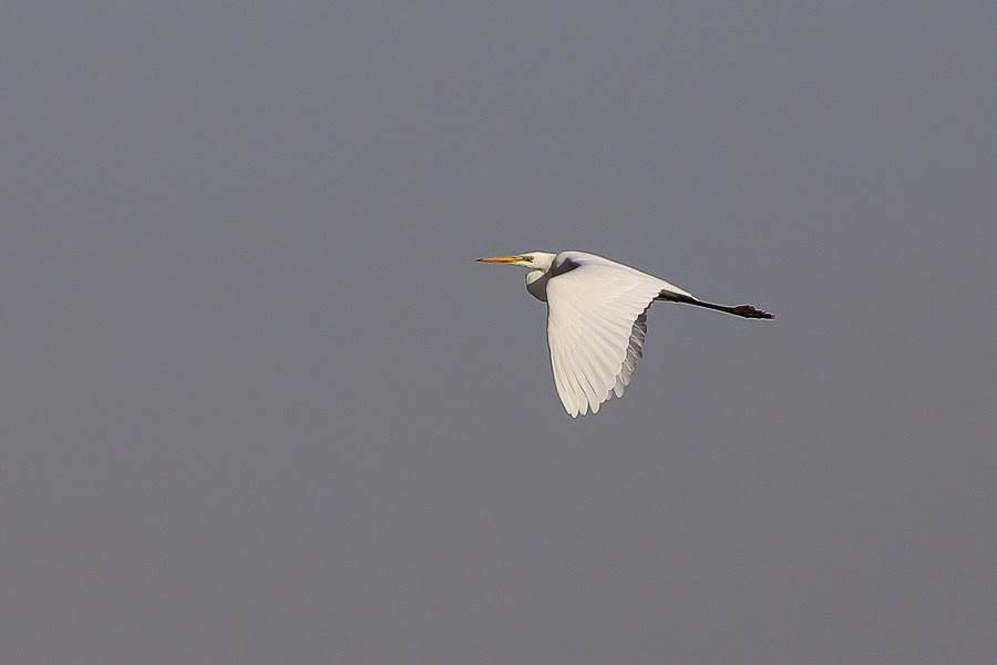 Western Great Egret