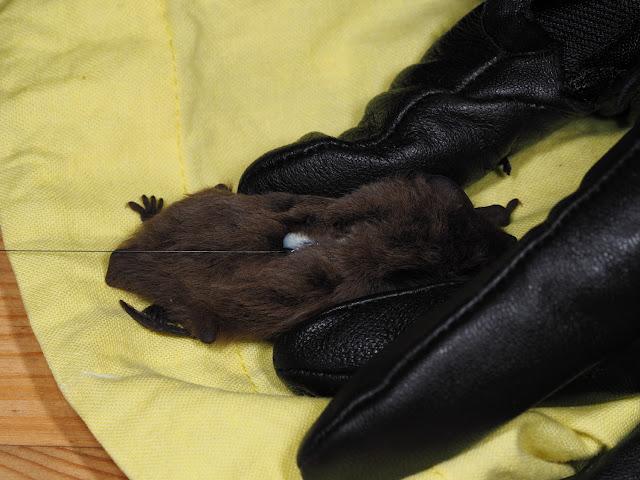 Pikkulepakko tutkijan sormien välissä, pieni lähetin selässään.