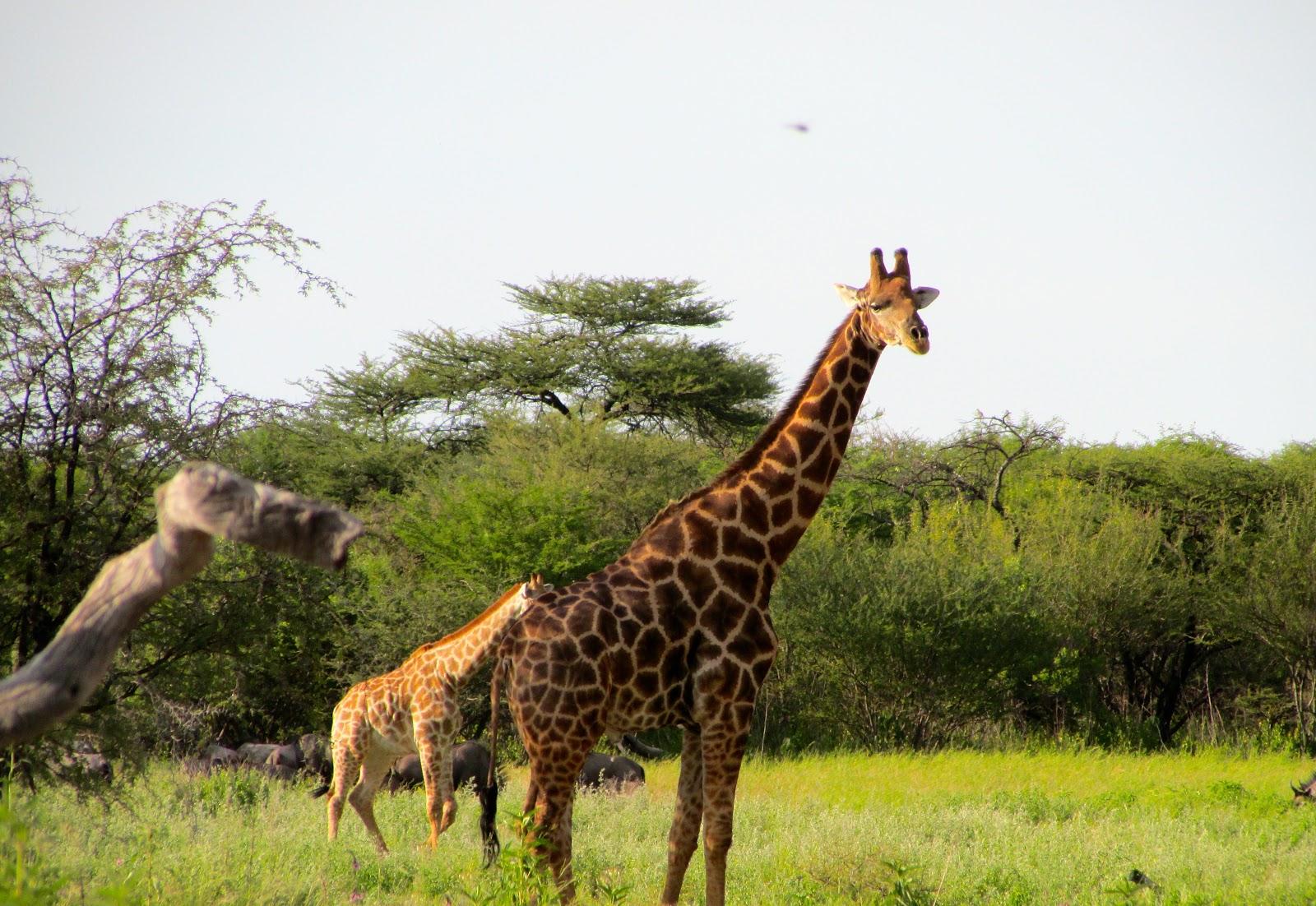 La Vie De Cyclisme Lions Zebras And Giraffes Oh My