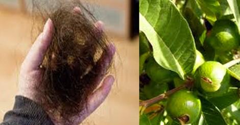 Hoja de guayaba hervida para el cabello