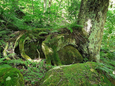 Ancient Yellow Birch engulfing a boulder