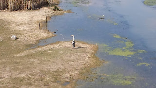 Heron, Bank, Yambol, River Tundzha,