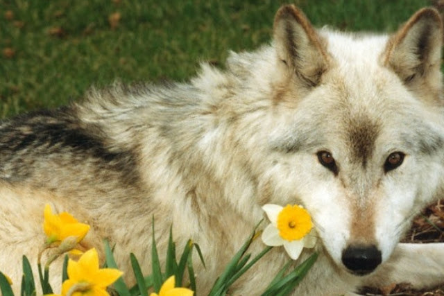 Happy Fall Desktop Wallpaper White Wolf Beautiful Photos Of 25 Animals Who Are