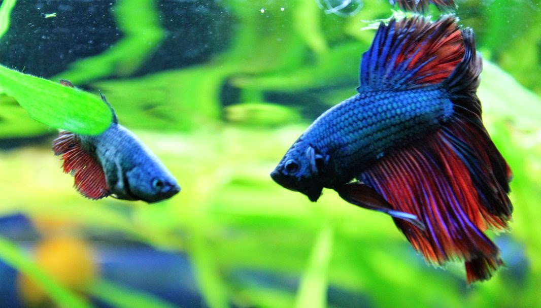 Dimorfismo sexual en el pez combatiente de Siam