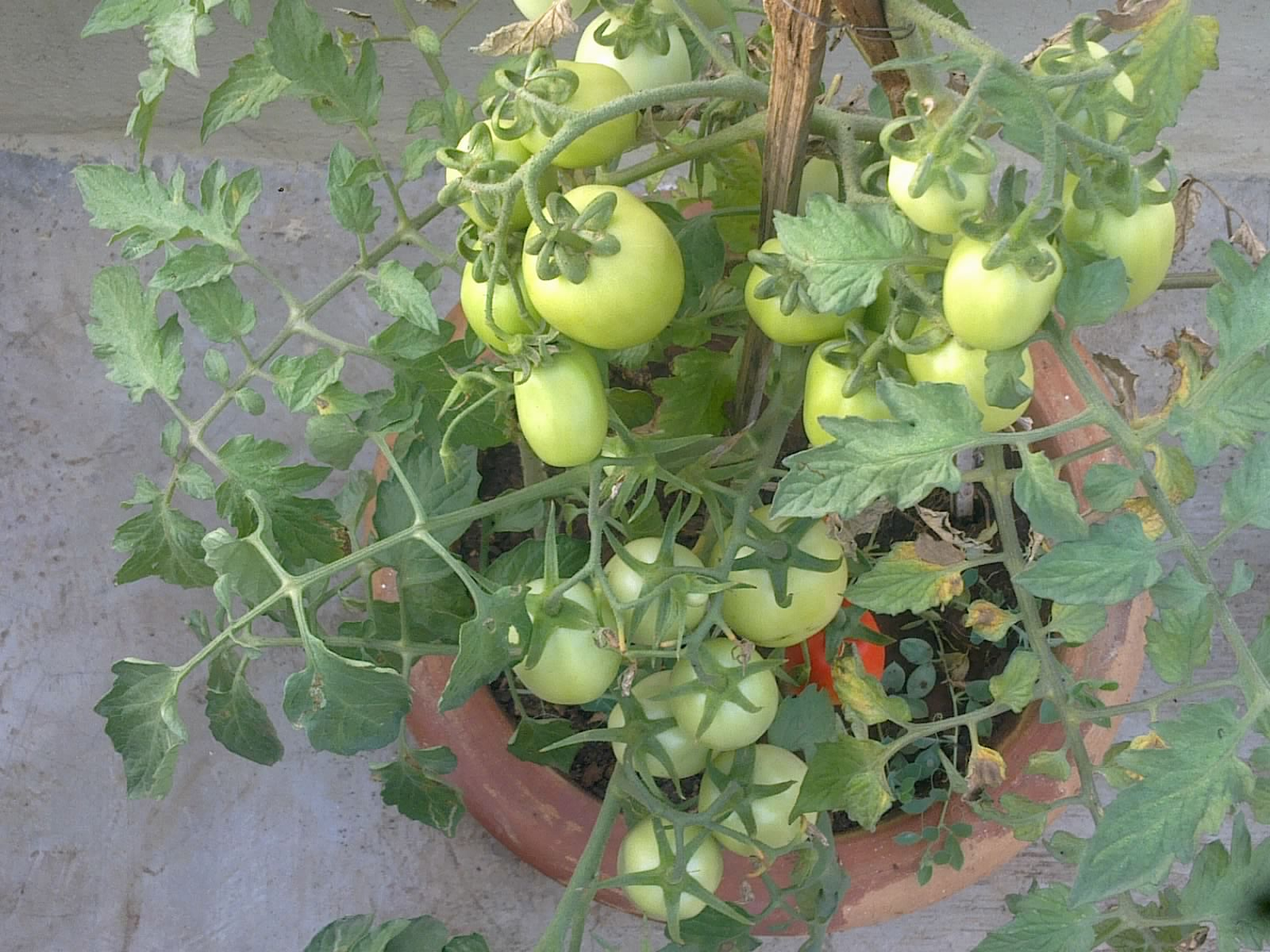 how to start tomato plants from seeds