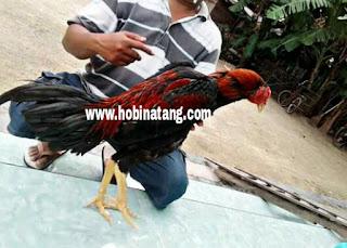 Jenis Ayam Bangkok Pakhoy