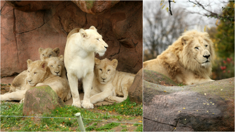 Toronto Zoo in the fall - white lions