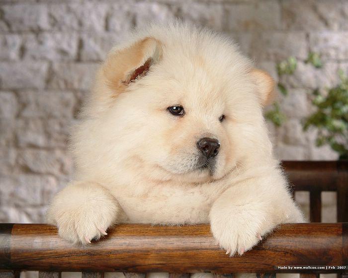 , Cara Merawat Anjing Chow Chow, Carles Pen, Carles Pen