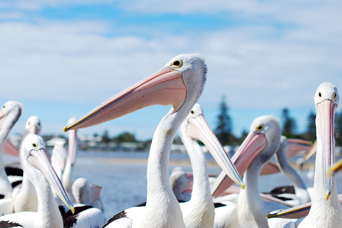 Pelican Feeding at The Entrance NSW