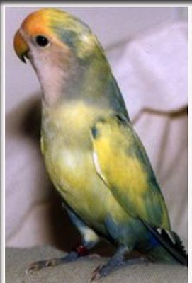 Lovebird biru - photo#47