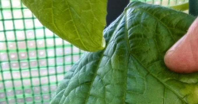 Mr Tomato King: Leaf burn or scorch on Tomatoes and Cucumbers