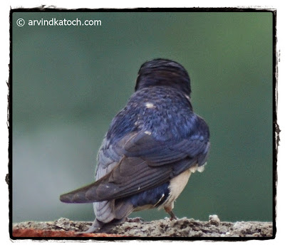 Backside, Barn Swallow,