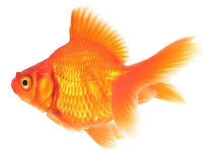 yelpaze kuyruklu japon balığı
